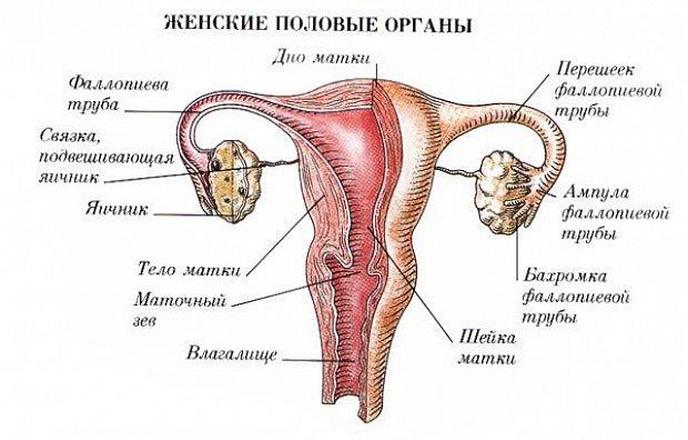 Женская половие органи